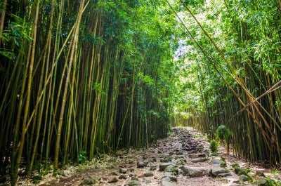 Bamboo Forest (Pipiwai Trail)