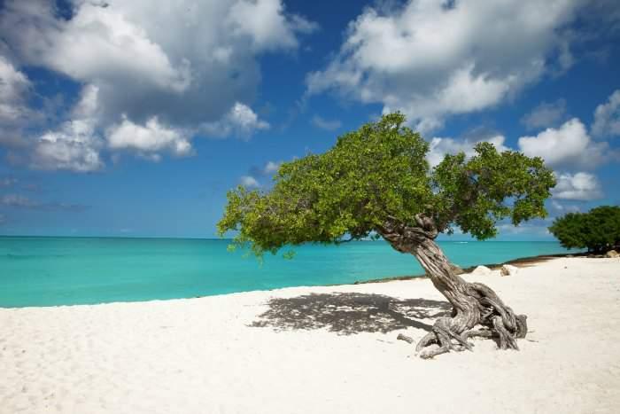 Divi Divi tree in Aruba