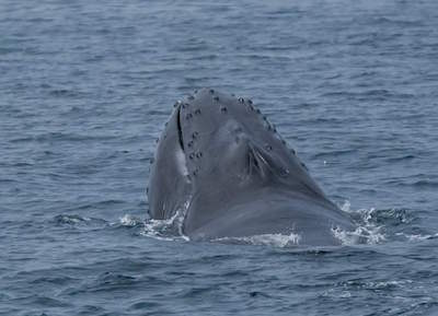 Dolphin and Whale Watching in Santa Barbara