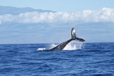Moorea Dolphin and Whale Watching