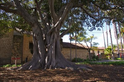 Moreton Bay Fig Tree in Santa Barbara