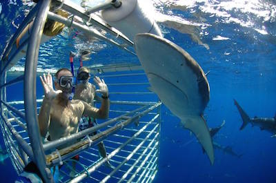 Shark Cage Diving in Oahu