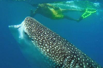 Snorkeling and swimming with sharks in Cabo San Lucas