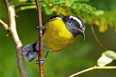 Bird Watching in St. Maarten