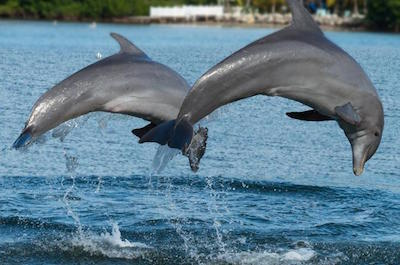 >Swimming with dolphins in Montego Bay