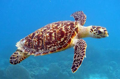 Turtle Feed Tour in Barbados
