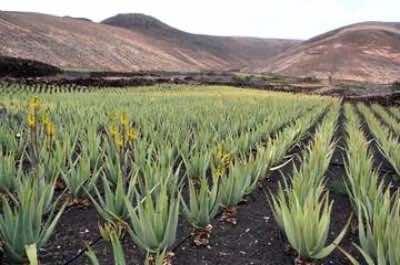 Aloe Factory and Museum  Aruba