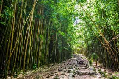 Bamboo Forest (Pipiwai Trail)