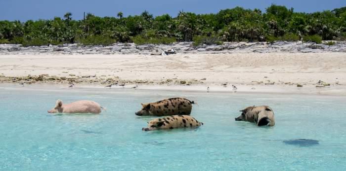 Swimming pigs in the Exumas, Bahamas