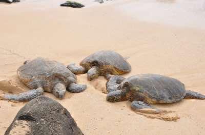 Laniakea, or Turtle Beach in Oahu