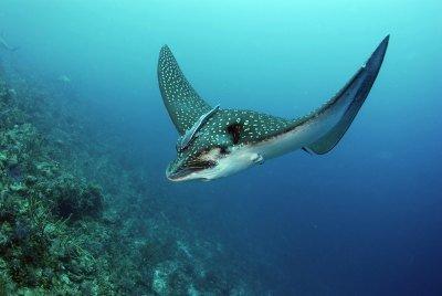 Leopard Rays Trench in Bora Bora