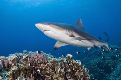 Shark Diving In Oahu
