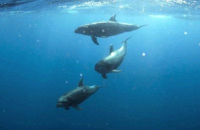 Kona Shore Excursion: Wild Dolphin - Reefs -Sea Caves -Kealakekua Bay Snorkel