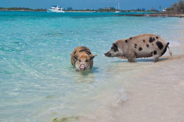Swimming Pigs in the Exuma, Bahamas