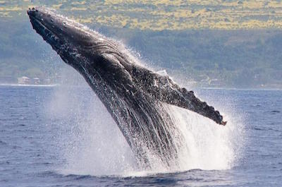 Whale Watching Catamaran Sail in Oahu